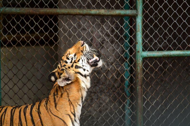 Тигр в зоопарке стоковое изображение