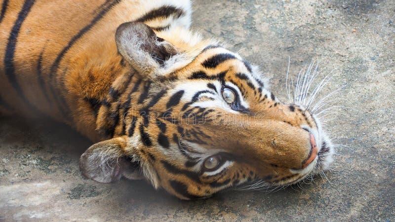 Тигр в зоопарке стоковое фото