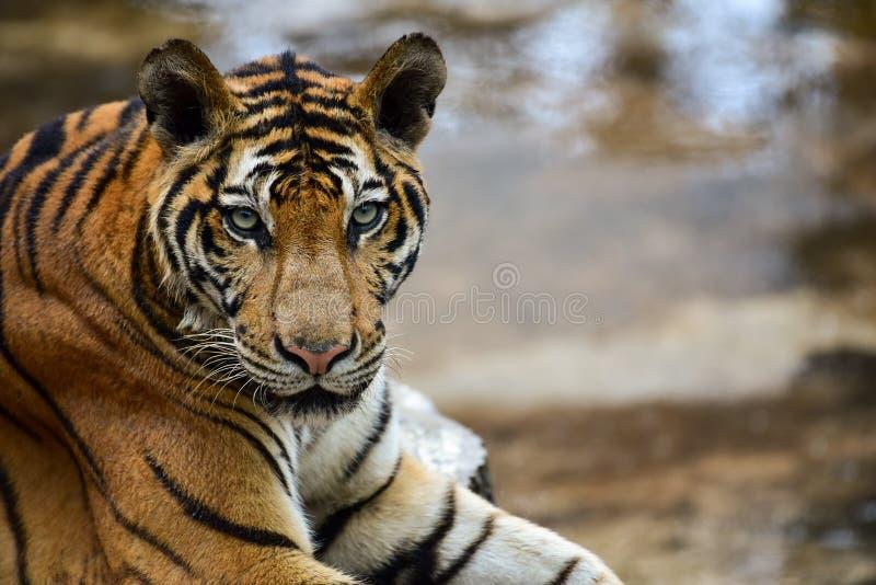 Тигр в зоопарке, тигр яростное животное стоковое фото rf