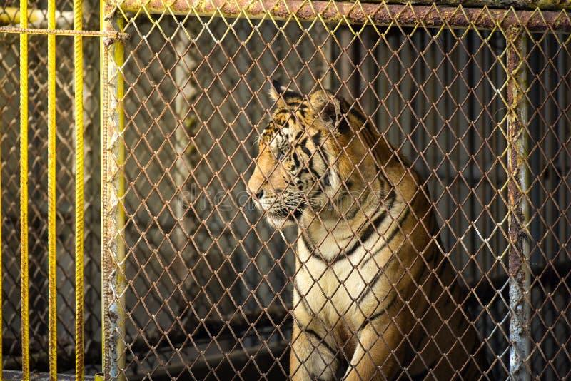 Тигр в зоопарке, тигр яростное животное стоковая фотография