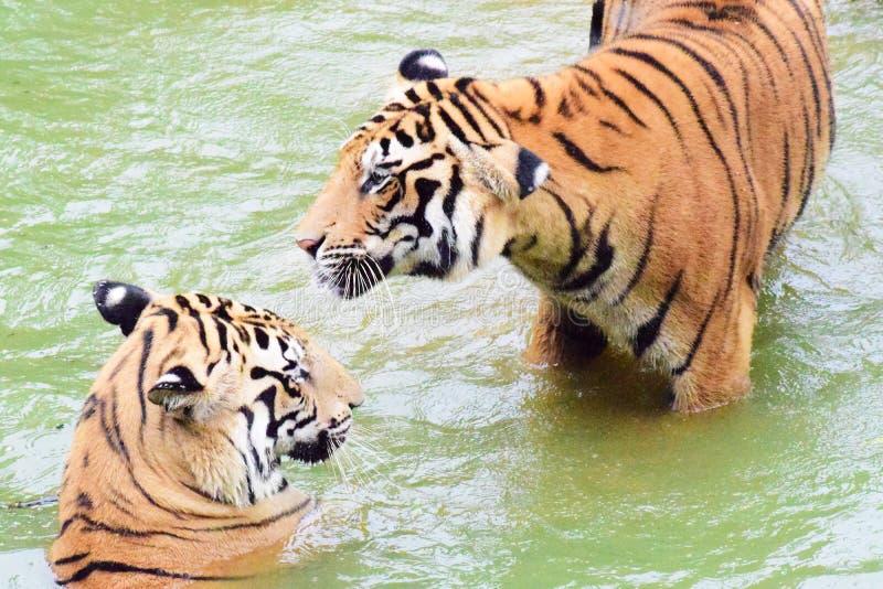 Тигр 2 в играть воды стоковое фото