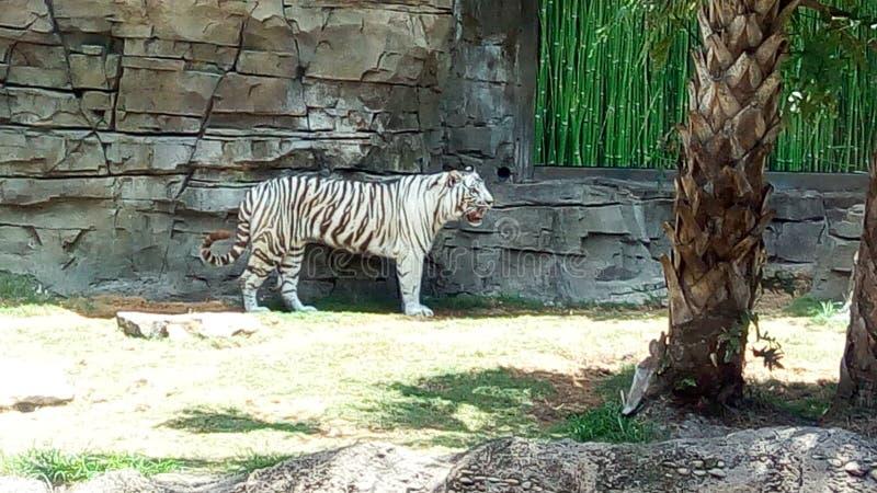 Тигр в парке стоковое фото