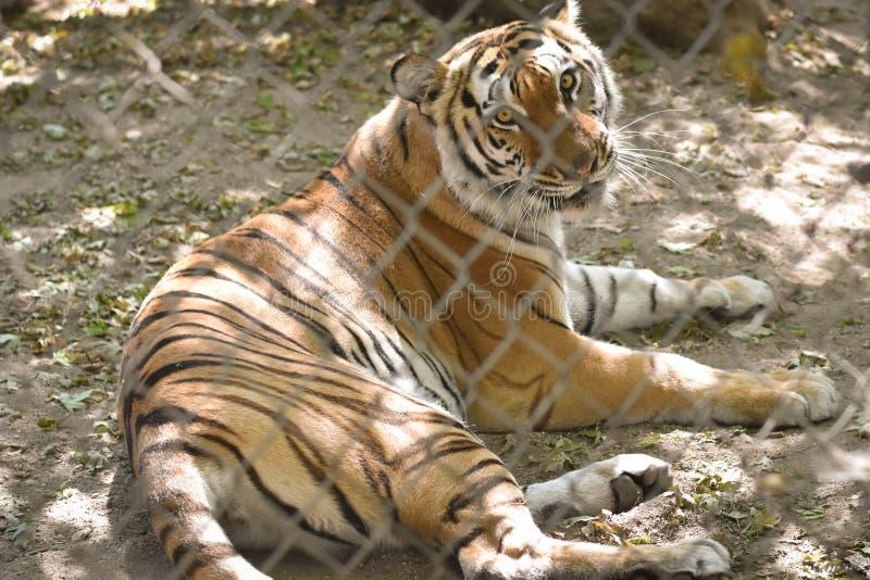Тигр в плене стоковые изображения rf