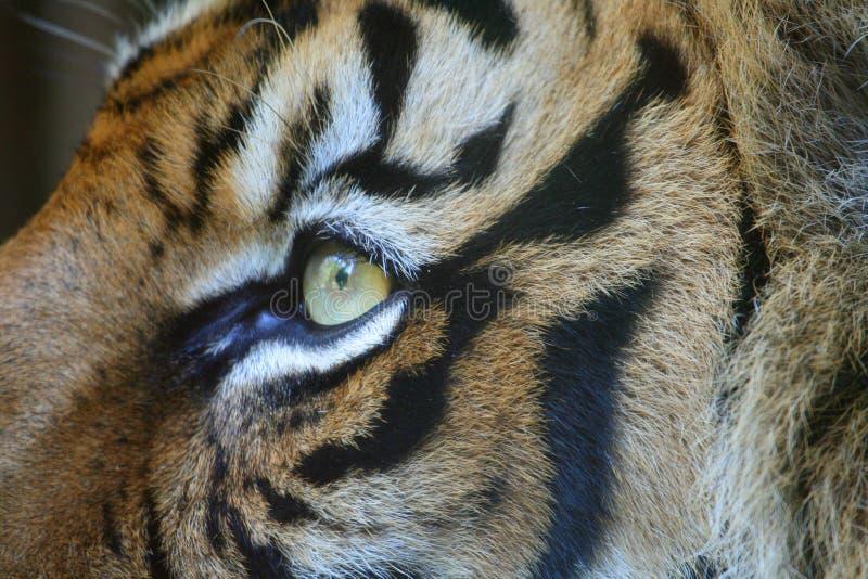 тигр глаза стоковое изображение