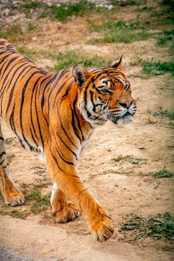 Тигр идя вокруг стоковое изображение
