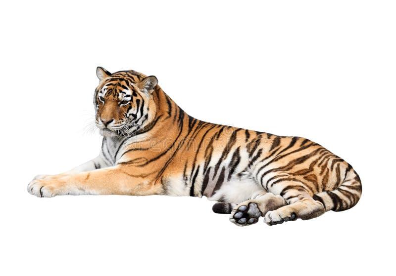 Тигр изолированный на белой предпосылке стоковые изображения rf