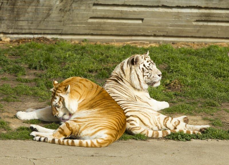 Тигр и tigress стоковое фото rf