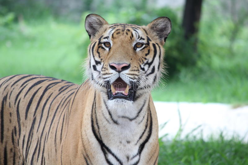 Тигр королевская Бенгалия стоковые фотографии rf