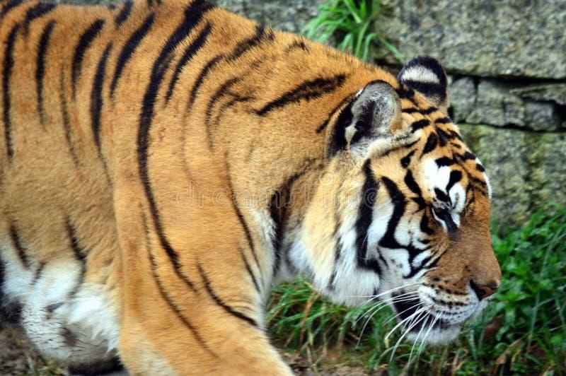 Тигр Красивый, зеленый Близкая поднимающая вверх съемка сибирского tigress Красивый тигр против темной предпосылки стоковые изображения rf