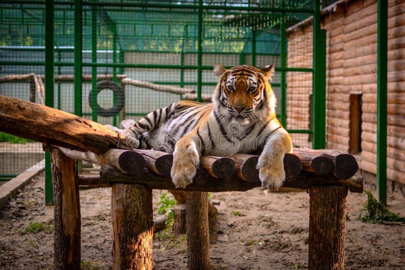 Тигр на зверинце стоковое изображение