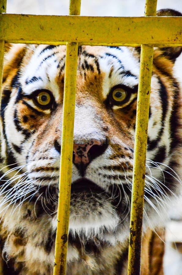 Тигр на зоопарке стоковые изображения