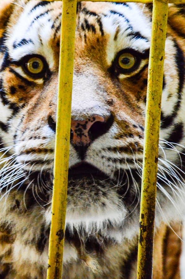 Тигр на зоопарке стоковое изображение rf