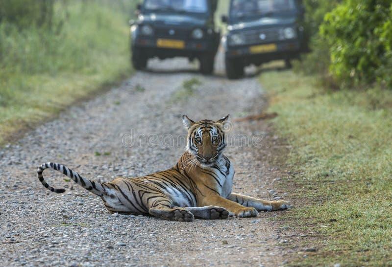 Тигр на дороге стоковые изображения rf
