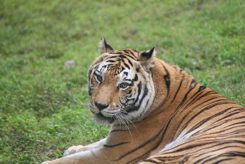 Тигр на траве в Африке стоковые изображения