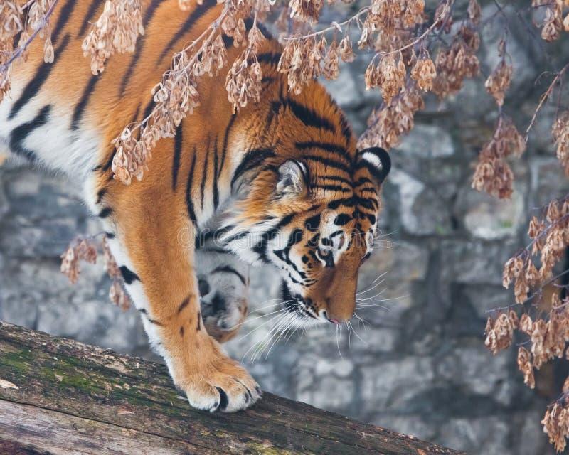 Тигр на упаденном дереве против фона осенних вянуть заводов, тигр около поскакать, конец-вверх, красивые волосы стоковое фото