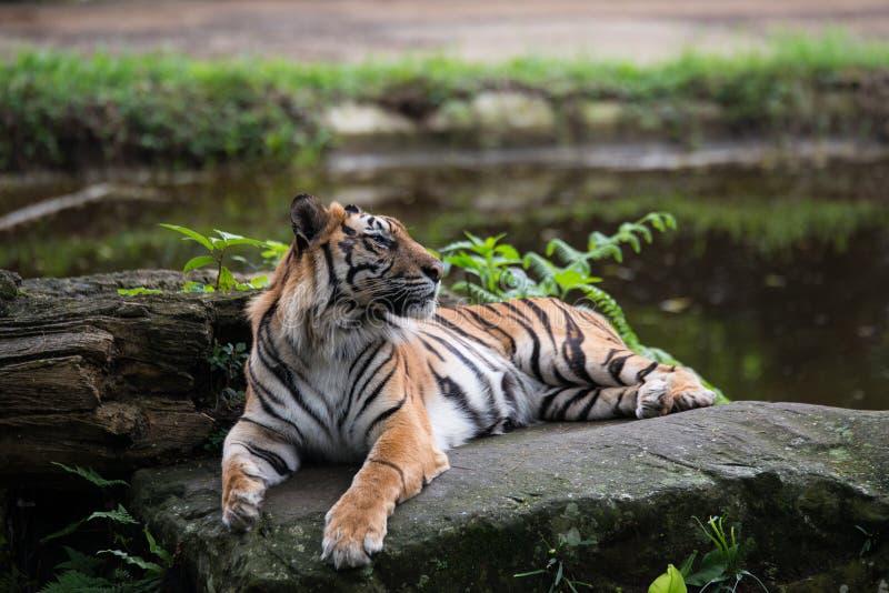 Тигр на утесе стоковое фото
