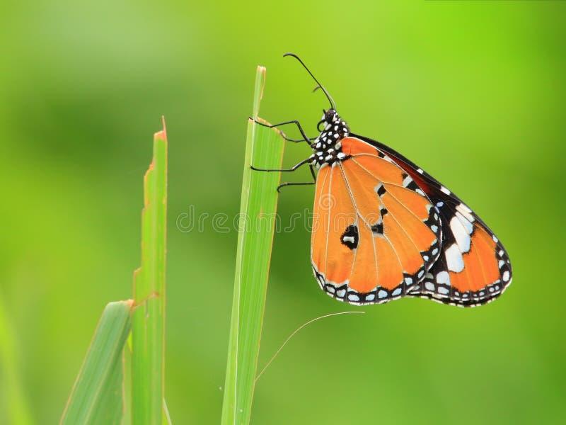 тигр общего бабочки стоковое изображение