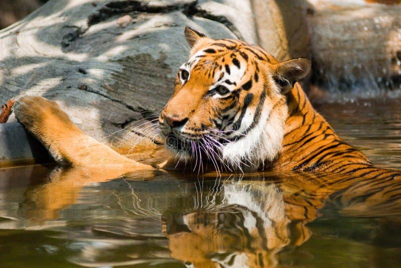 Download тигр озера стоковое фото. изображение насчитывающей озеро - 12432928