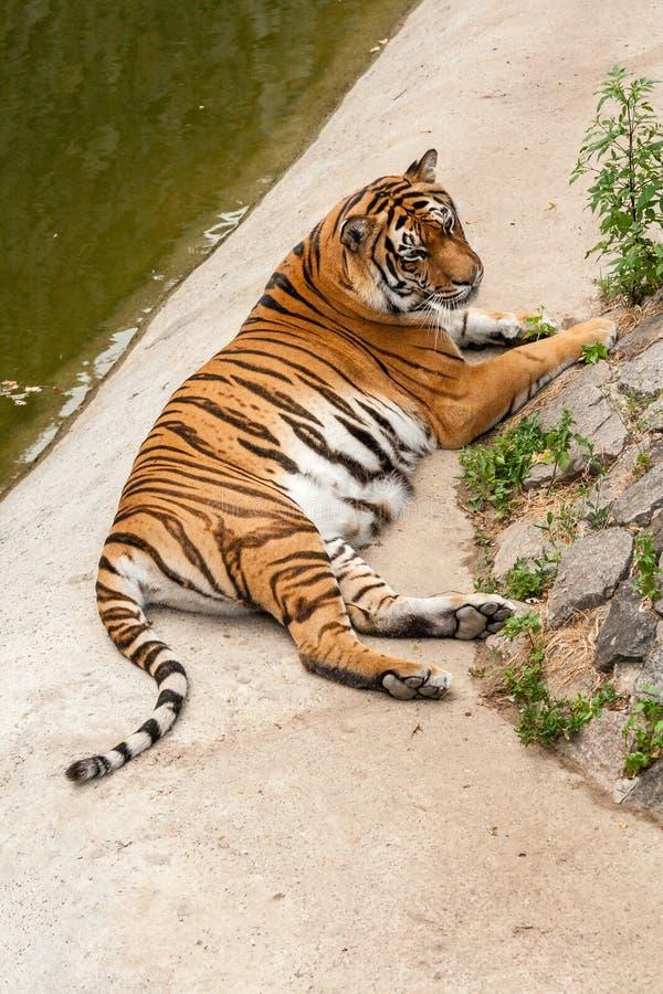 Тигр отдыхая в природе около воды стоковые фотографии rf