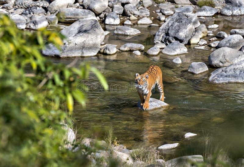тигр одичалый стоковое изображение rf