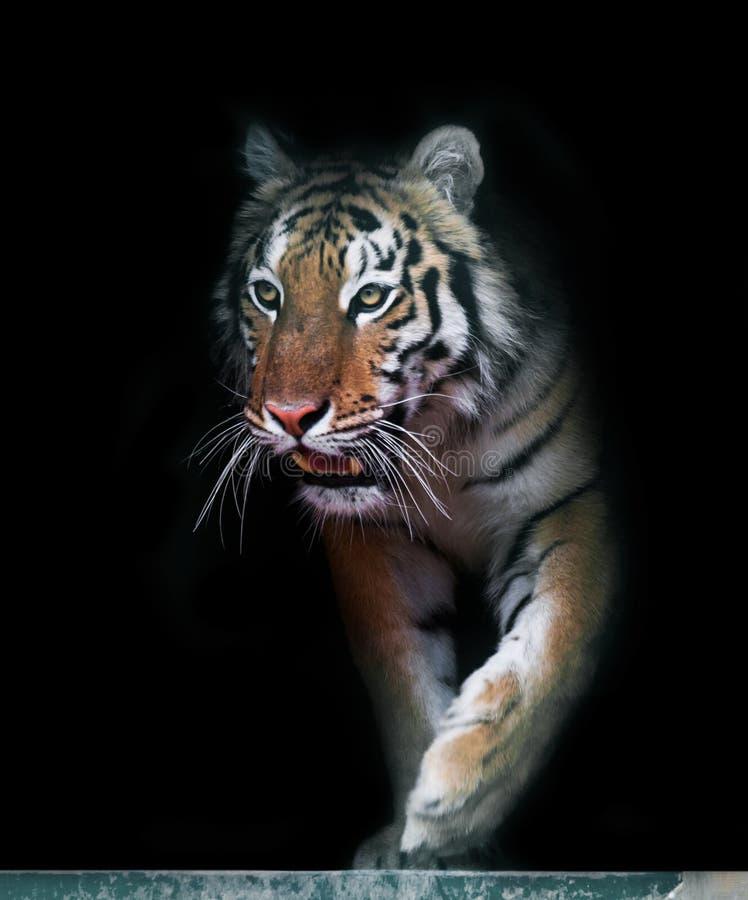 Тигр приходя вне стоковые изображения