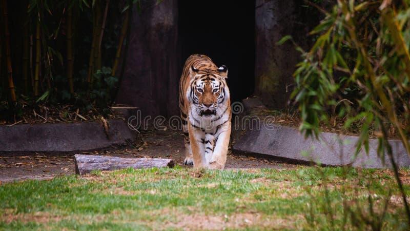 Тигр причаливая от тоннеля стоковое фото