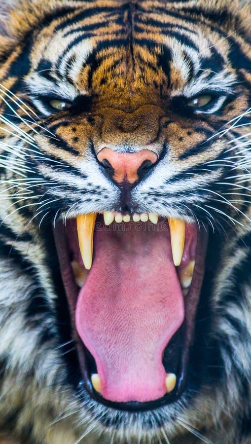 Тигр рычать стоковое изображение