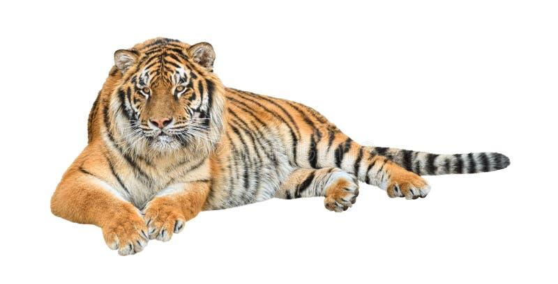 тигр сибиряка выреза стоковая фотография
