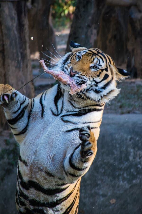 Тигр скачет стоковая фотография