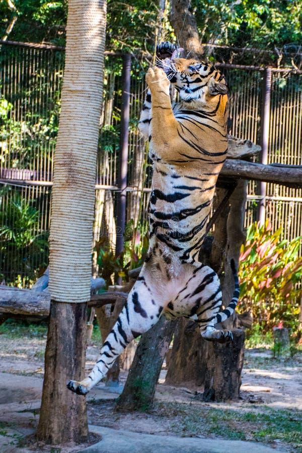 Тигр скачет стоковое изображение rf
