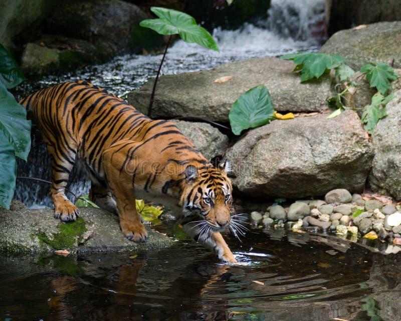 тигр скрытности стоковое фото