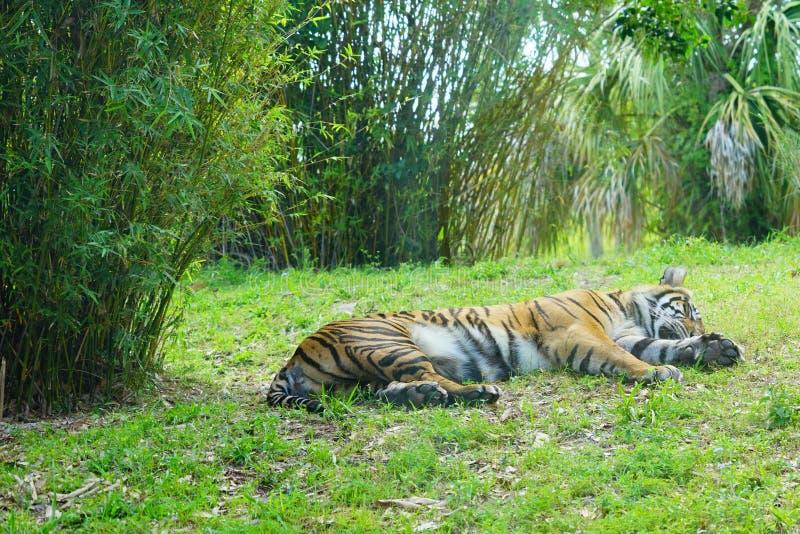 Тигр спать стоковое фото