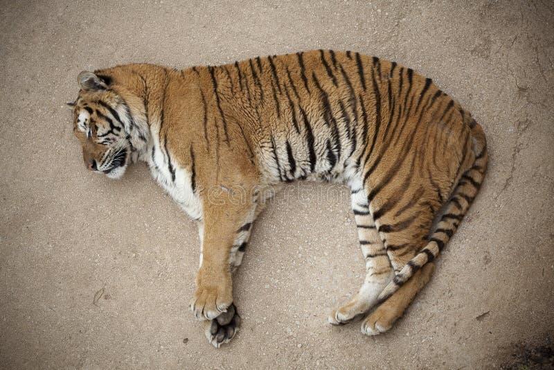 тигр спать пола стоковые фото