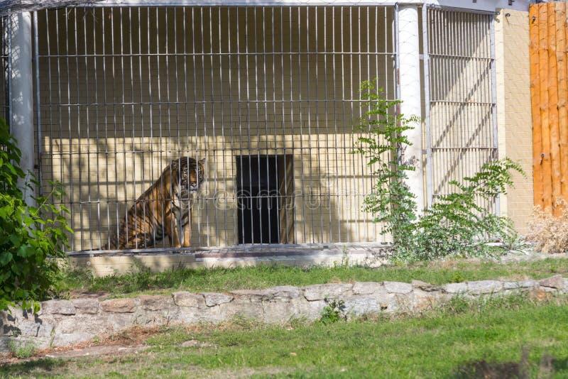 Тигр убийцы в зоопарке Wroclaw стоковое изображение
