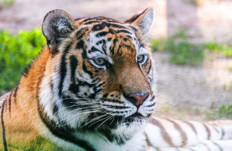 Тигр хищника портрета стоковое фото rf