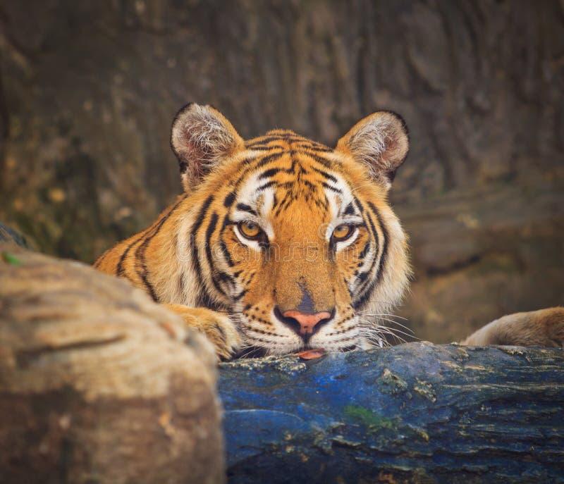 Download Тигр стоковое изображение. изображение насчитывающей шерсть - 33738947
