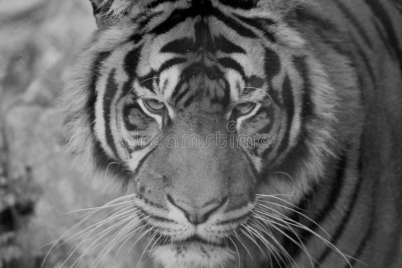 Download Тигр стоковое изображение. изображение насчитывающей тигр - 81809733