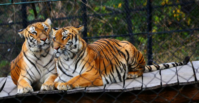Тигр стоковые изображения