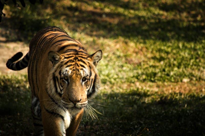 Тигр Bangal стоковые изображения