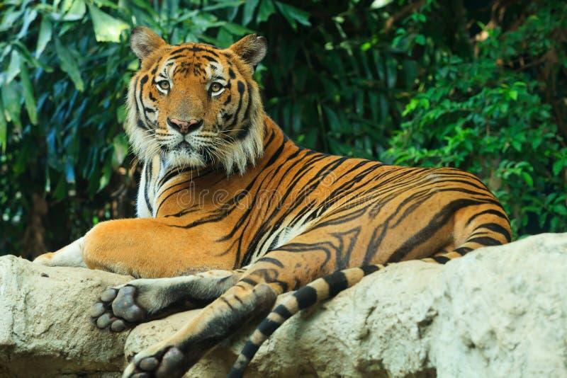 Тигр Begal положенный на утес стоковые фотографии rf