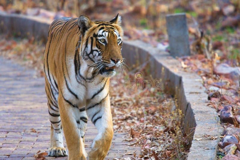 Тигр Choti Тары женский идя через национальный парк Tadoba стоковое фото