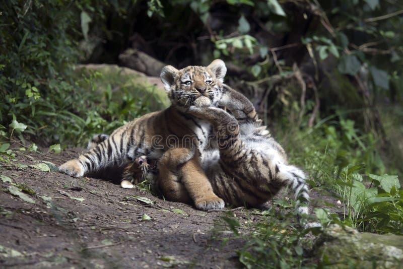 Тигр Cubs стоковое изображение rf