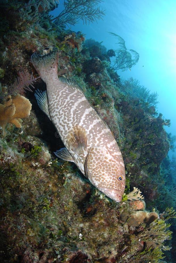 тигр grouper стоковое изображение rf