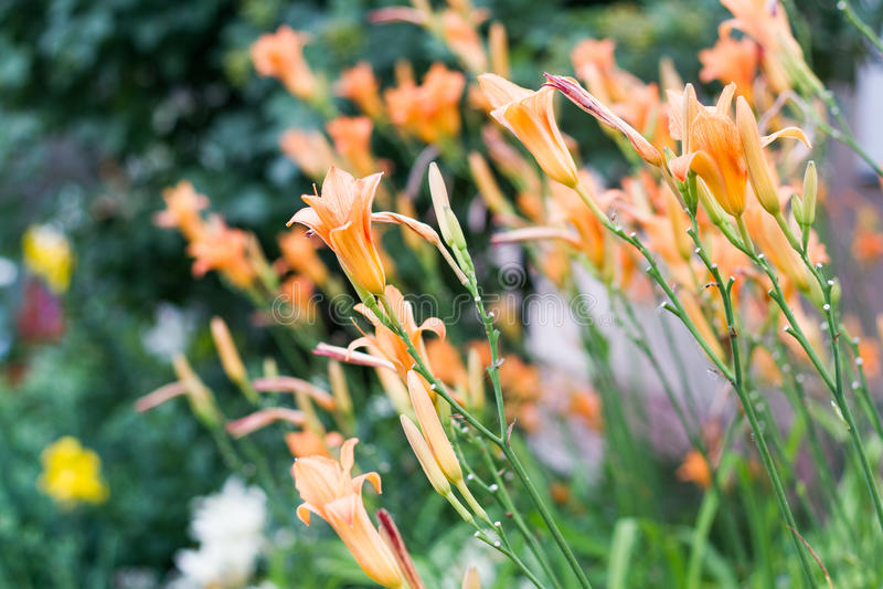 Тигр Lillies стоковое изображение rf