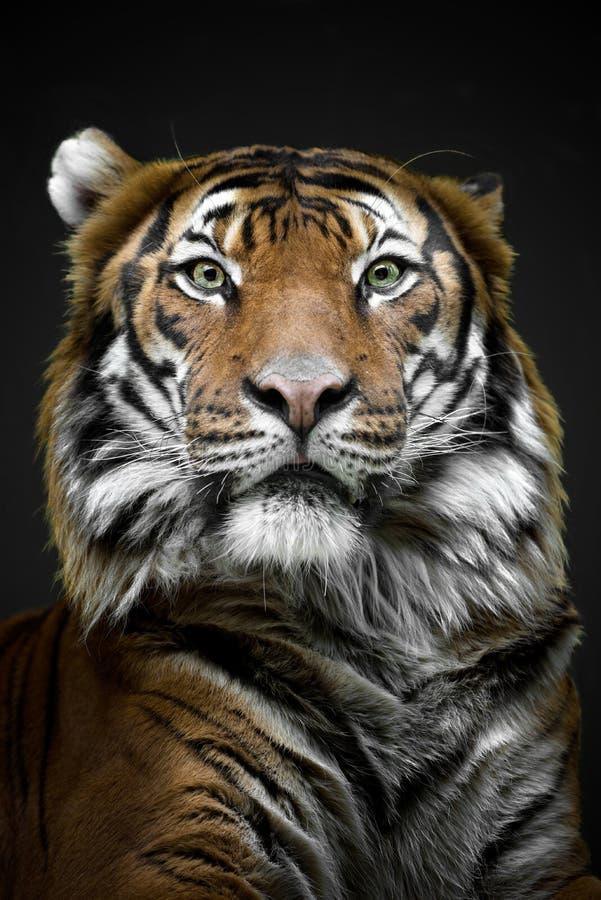 Тигр Mylayan - конец вверх по тигру стороны - зоопарк Праги стоковые изображения