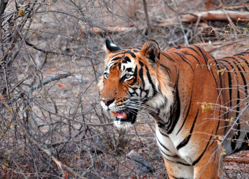 тигр prey стоковое изображение