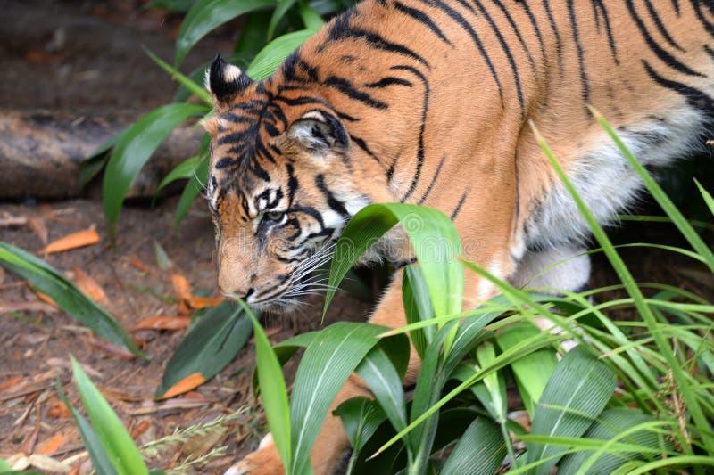 Download Тигр Sumatran стоковое фото. изображение насчитывающей сила - 40588906