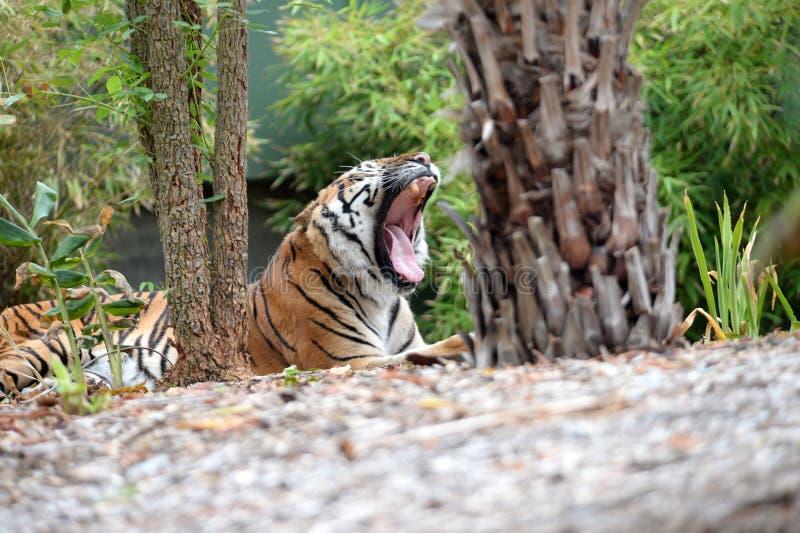 Download Тигр Sumatran стоковое фото. изображение насчитывающей приложения - 40588990