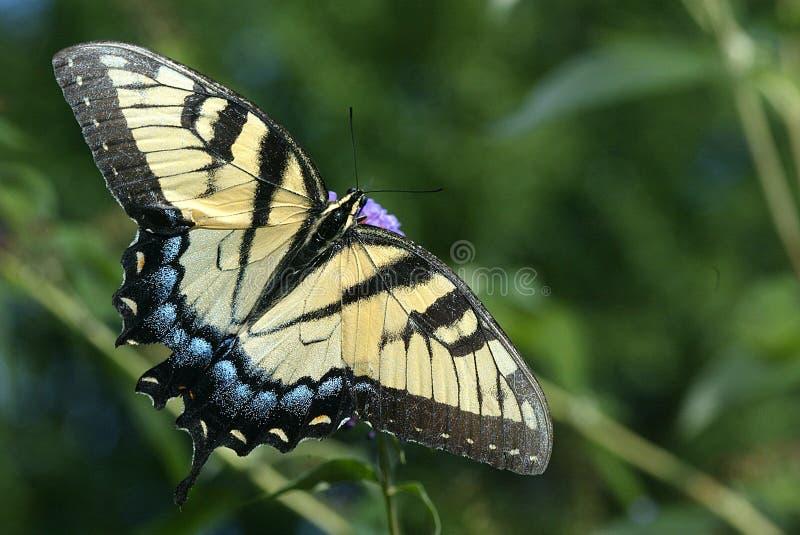 тигр swallowtail