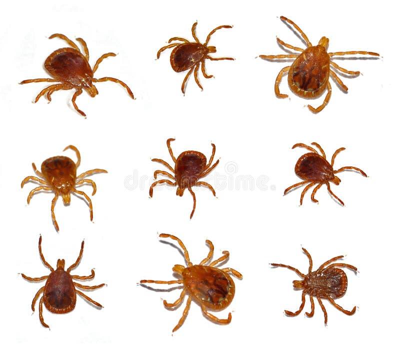 тикание звезды насекомого уединённое стоковое фото